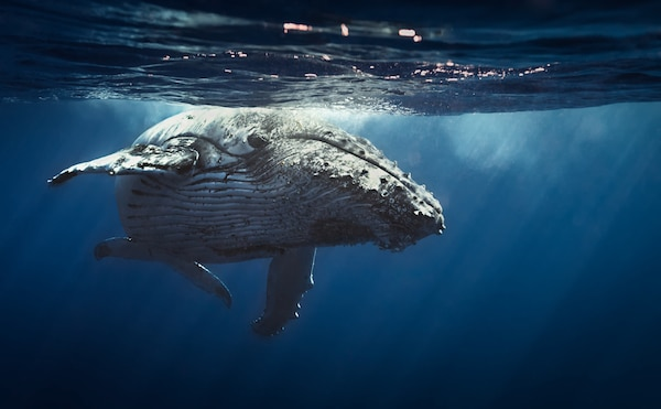 Queen whale