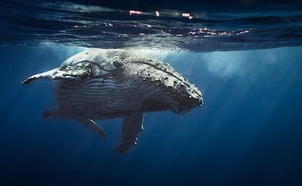 Queen whale